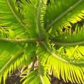 Желтеют листья у герберы