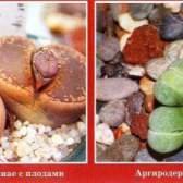 Живые камни - литопсы
