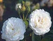 Альба, или белые розы