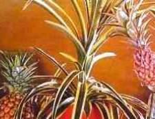 Ананас комнатное растение фотографии