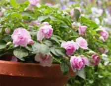 Бальзамин комнатный махровый — теплолюбивое растение
