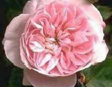Бенгальская или китайская роза (china roses)