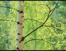 Берёза: полезные и лечебные свойства, фото. Гриб чага — описание