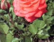 Царица цветов - из истории роз