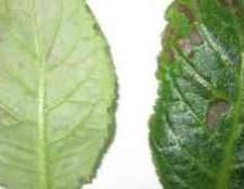 Чернеют листья у глоксинии