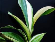 «Чугунное растение» — аспидистра в домашних условиях
