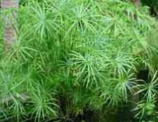 Циперус сыть растение-зонтик раскидистый