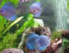Циперус в аквариуме фотострана