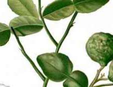 Цитрусовое дерево с шипами это