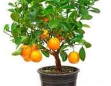 Цитрусовое растение с шипами