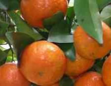 Цитрусовые фрукты кумкват фото