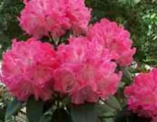 Цветок азалия фото цена