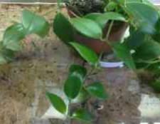 Цветок эсхинантус мона лиза