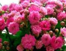 Цветок каланхоэ размножение кроликов