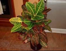 Цветок кротон. Прочтите это и вы захотите завести это растение у себя дома.