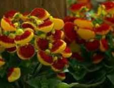 Цветы кальцеолярия цена