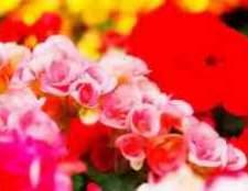 Декоративно цветущие бегонии фото