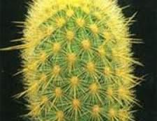 Декоративный кактус хагеоцереус