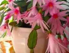 Домашние цветы олеандры