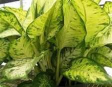 Домашние растения, вызывающие аллергию