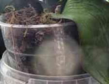 Душ для орхидеи фаленопсис детка