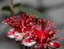 Фейхоа — небольшой вечнозеленый раскидистый кустарник с зелено-серебристой кроной и крупными бело-красными цветками.