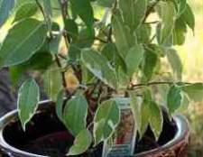 Фикус с мелкими листьями фотострана