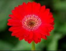 Гербера — что вы знаете об этом цветке?
