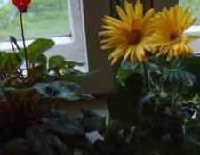 Герберы из семян фотоурок