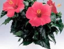 Гибискус китайский: азиатский король цветов