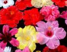 Hibiscus rosa sinensis medicinal uses