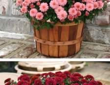 Хризантема в горшке: правила ухода за хризантемой в домашних условиях