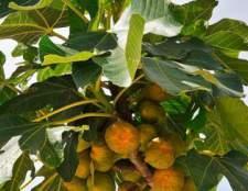 Инжир или фиговое дерево