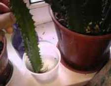 Как обрезать кактус молочай