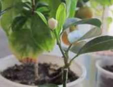 Как ухаживать за цитрусовым деревом в домашних условиях