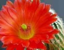 Как ухаживать за кактусом гимнокалициум японский