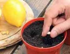 Как выращивать цитрусовые домашнее