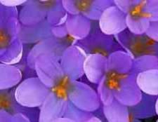 Каких цветов бывают герберы