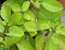 Каланхоэ перистое цветёт только в природе