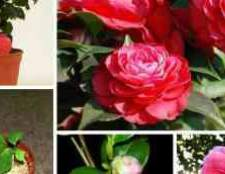 Камелия цветок уход в домашних условиях видео