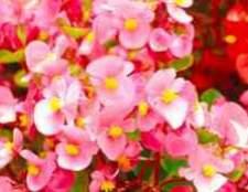 Камелия цветы в санкт-петербурге