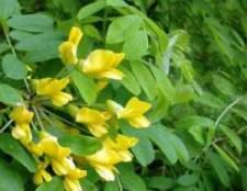 Карагана (акация желтая)