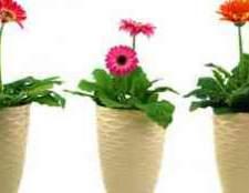 Карликовая гербера цветок