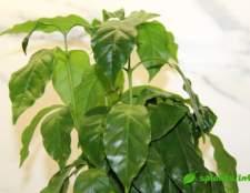 Кофе арабика. Как вырастить кофейное дерево