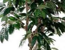 Кофе арабика комнатное растение фото