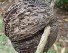 Кокос орехоносный cocos nucifera