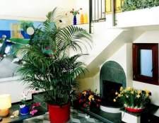 Комнатная пальма ховея