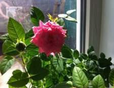 Комнатная роза - красавица с шипами