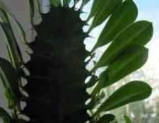 Комнатное растение молочай вредина
