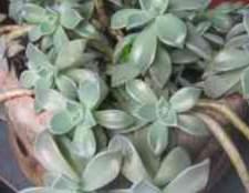 Комнатное растение очиток пурпурный
